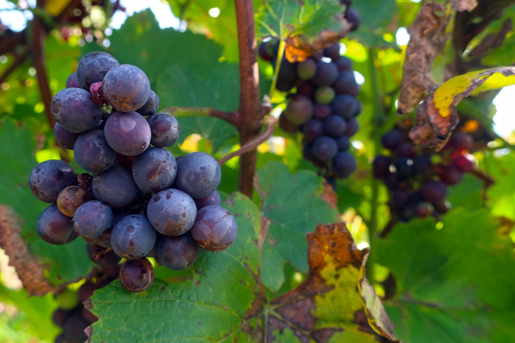Wein aus Kärnten: 7 Orte in Mittelkärnten, wo man Kärntner Wein genießen kann